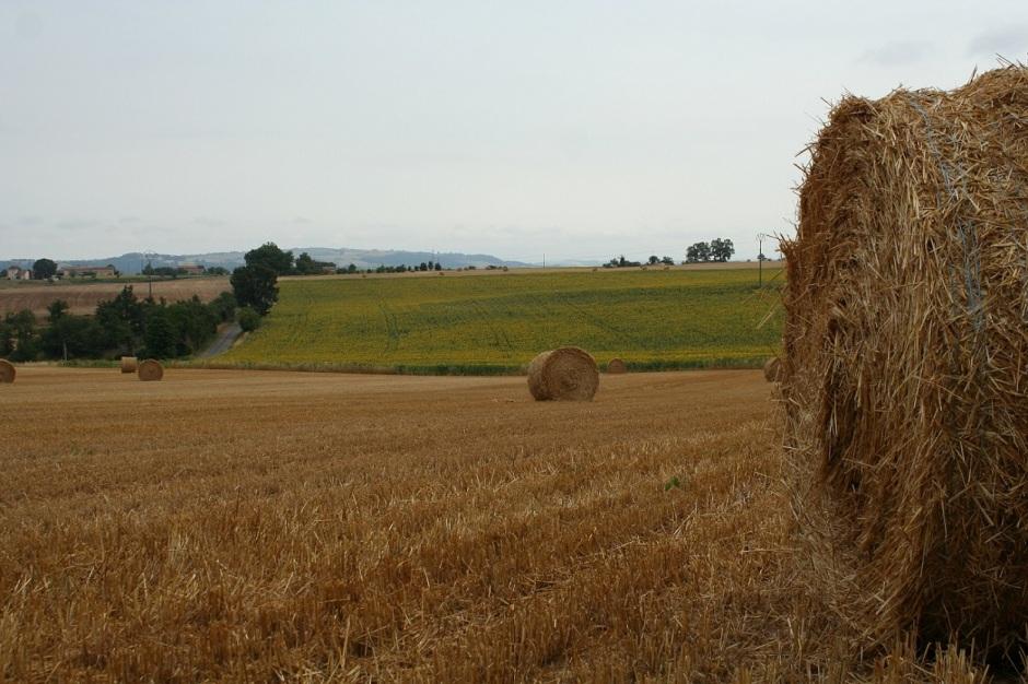 Champ blé midi